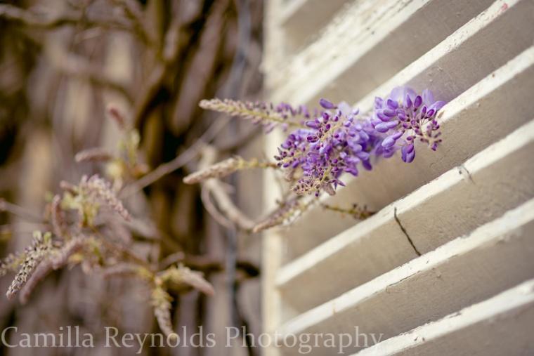 wisteria-1