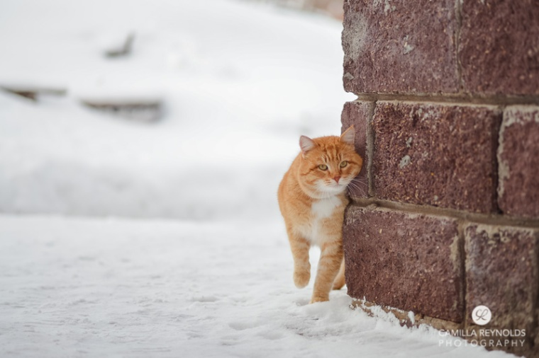 cute ginger cat snow